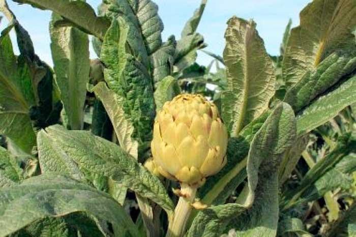 Seguro hortalizas
