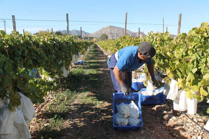 campaña uva mesa embolsada vinalopo