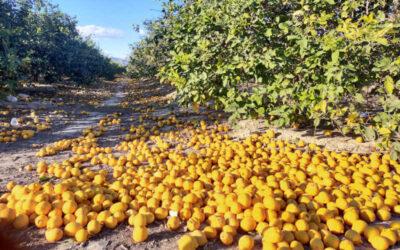 Ruina absoluta en la campaña del limón fino en la Vega Baja