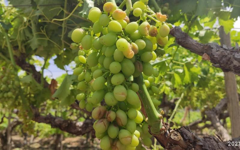 El granizo afecta a 9 millones de kilos de la uva de mesa en La Romana, La Algueña y Hondón de las Nieves