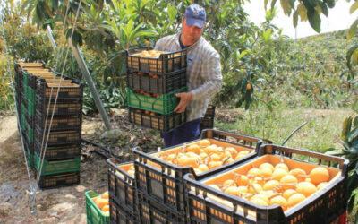 Gran cosecha del níspero, que recupera la producción, con 13 millones de kilos