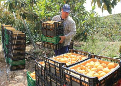 Recolección, Transporte, Almacenamiento y Acondicionamiento de la Fruta (100% Online)