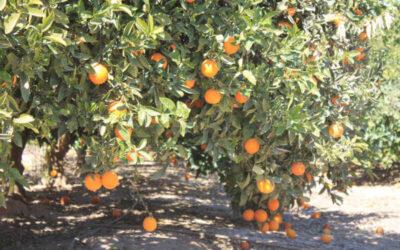 ASAJA Alicante gestiona el trampeo masivo contra la mosca de la fruta en caqui, granado y variedades extratempranas de cítricos