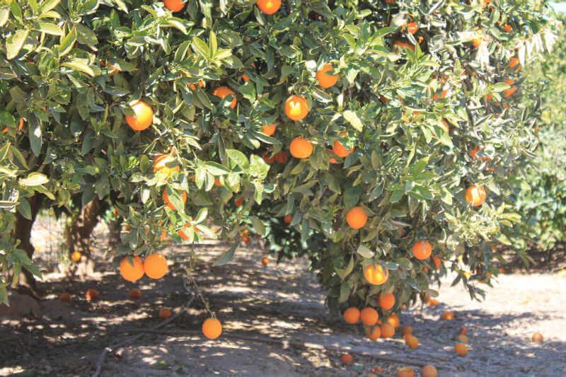 ASAJA Alicante denuncia prácticas desleales en la naranja