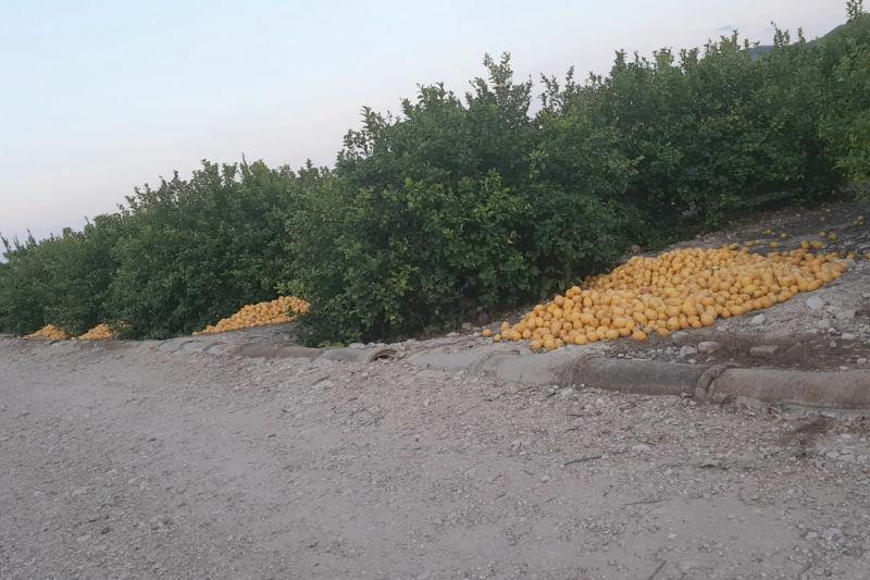 ASAJA Alicante estima unas pérdidas de 110 millones de euros en la campaña del limón