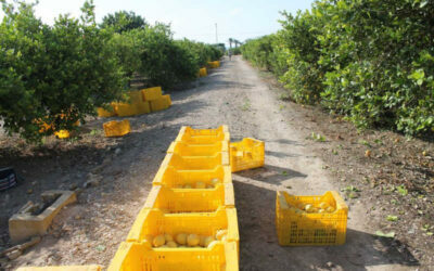 ASAJA Alicante alerta del peligro en esta campaña de la transmisión del Cotonet a Alicante