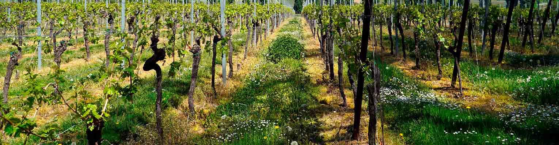 Sectorial vino